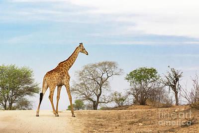 South African Giraffe Art Print by Jane Rix