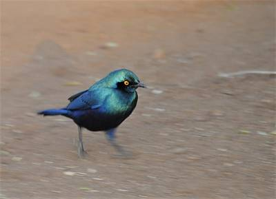 Merlo Wall Art - Photograph - South African Merlo Bird On The Run by Heidi Fickinger