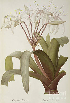 Lilies Drawing - South American Swamp Crinum Lily by Pierre Joseph Redoute