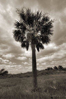 Palmetto Photograph - South Carolina Palmetto Palm Tree by Dustin K Ryan