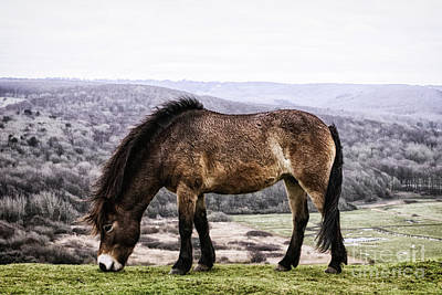 Photograph - South Downs Wild Pony by Toula Mavridou-Messer
