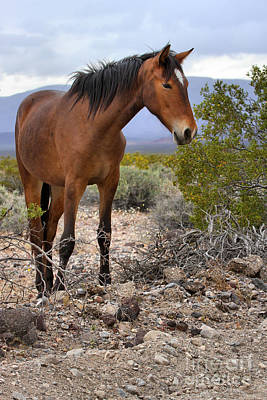 Photograph - South Nopah Wild Mustang by Adam Jewell