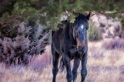Photograph - South Steens Band Stallion Approaches by Belinda Greb