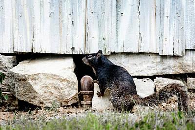 Photograph - South Texas Squirrel by Debra Martz