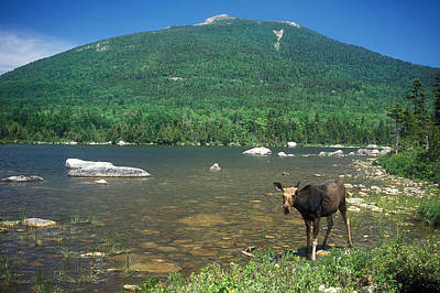 Photograph - South Turner Mountain Cow Moose by John Burk