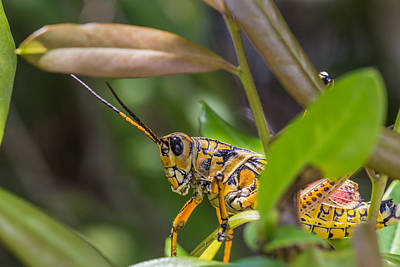 Photograph - Southeastern Lubber Grasshopper by Christopher L Thomley