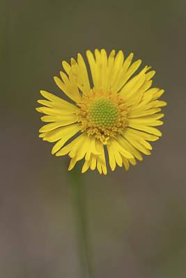 Photograph - Southeastern Sneezeweed Flower by Paul Rebmann