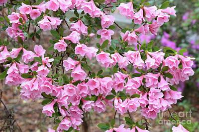 Photograph - Southern Belles Pink Azaleas by Carol Groenen