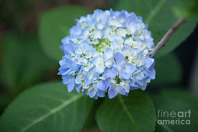 Photograph - Southern Blue Hydrangea Blooming by Dale Powell