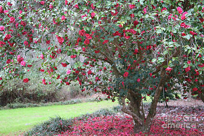 Photograph - Southern Camellia Tree by Carol Groenen