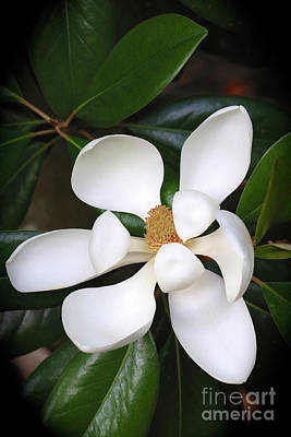 Sunlight On Flowers Photograph - Southern Charm Magnolia Grandiflora by Carol Groenen
