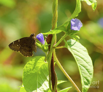 Photograph - Southern Cloudywing Butterfly by Donna Brown