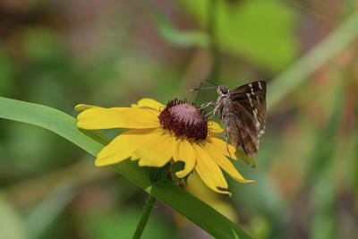Photograph - Southern Cloudywing On Blackeyed Susan by Paul Rebmann