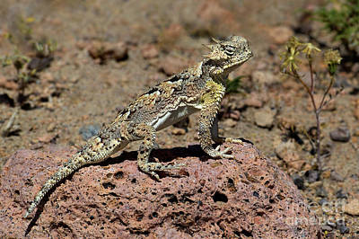 Photograph - Southern Desert Horned Lizard Phrynosoma Platyrhinos Wild by Dave Welling