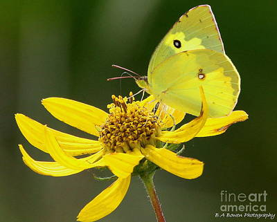 Photograph - Southern Dogface Butterfly by Barbara Bowen