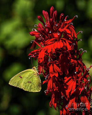 Photograph - Southern Dogface On Cardinal Flower by Barbara Bowen
