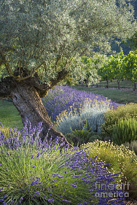 Grapevine Photograph - Southern France Garden by Brian Jannsen