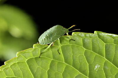 Southern Green Stink Bug Camouflaged On A Green Leaf Art Print by Sami Sarkis