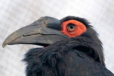Photograph - Southern Ground Hornbill by Nadia Sanowar