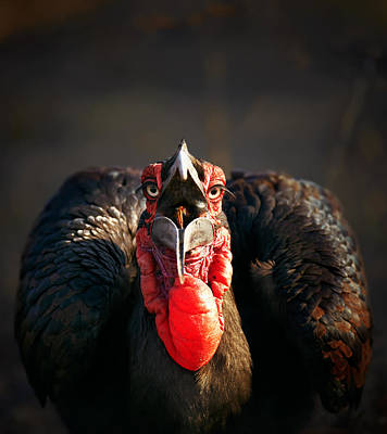 Burn Photograph - Southern Ground Hornbill Swallowing A Seed by Johan Swanepoel