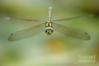 Photograph - Southern Hawker by Andy Brown