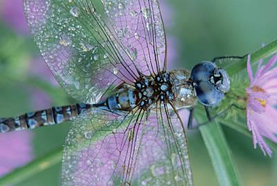 Southern Hawker Dragonfly Aeshna Cyanea Print by Tim Fitzharris