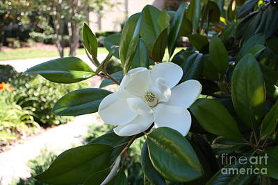 Photograph - Southern Hospitality Magnolia by Carol Groenen