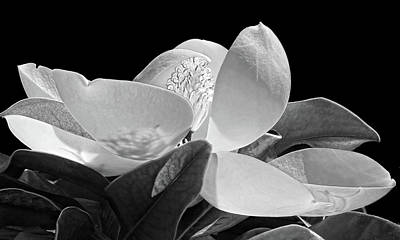 Photograph - Southern Lady - Magnolia Grandiflora by HH Photography of Florida