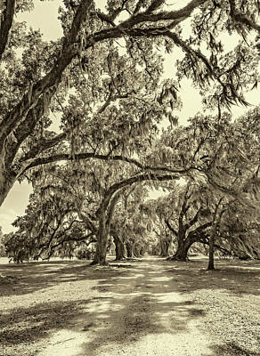 Southern Lane - Evergreen Plantation -sepia Art Print by Steve Harrington