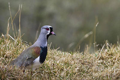 Lapwing Photograph - Southern Lapwing by Jean-Louis Klein & Marie-Luce Hubert