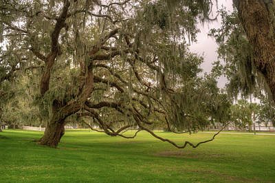 Epiphyte Photograph - Southern Live Oak Tree Spanish Moss And Drooping Limbs by Douglas Barnett
