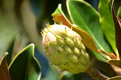 Photograph - Southern Magnolia Bud by Maria Urso