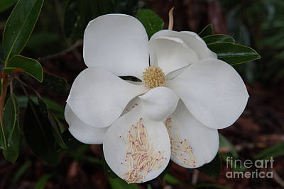Photograph - Southern Magnolia Matchsticks by Dale Powell