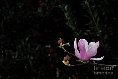 Southern Magnolia Art Print by Skip Willits