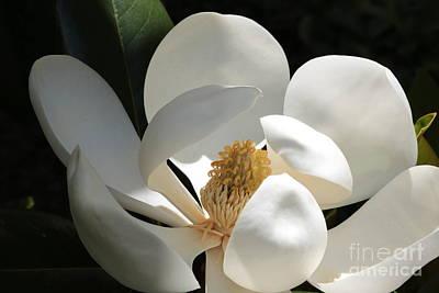 Photograph - Southern Magnolia Sunlight by Carol Groenen