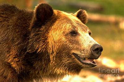 Photograph - Southern Montana Grizzly by Adam Jewell