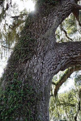 Photograph - Southern Oak by Laurie Perry
