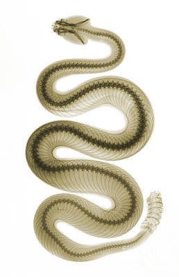 Black Diamonds Photograph - Southern Pacific Rattlesnake, X-ray by Ted Kinsman