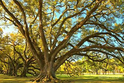 Photograph - Southern Plantation Oak Trees by Adam Jewell