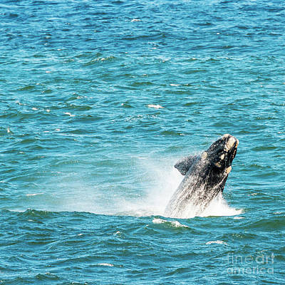 Southern Right Whale Breaching Art Print by Tim Hester