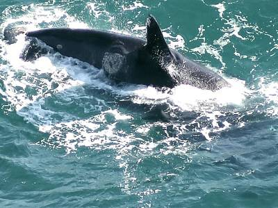 Photograph - Southern Right Whale by Jennifer Wheatley Wolf