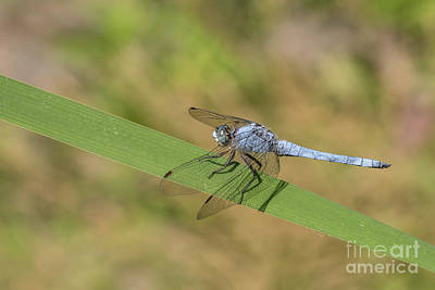 Photograph - Southern Skimmer Male - Orthetrum Brunneum by Jivko Nakev