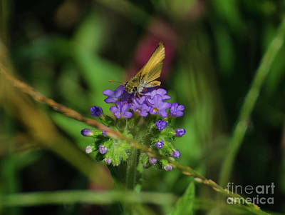 Photograph - Southern Skipperling Butterfly by Donna Brown