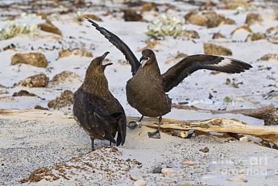 Mating Dance Photograph - Southern Skuas by Jean-Louis Klein & Marie-Luce Hubert