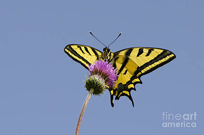 Greek Insects Photograph - Southern Swallowtail Butterfly by Steen Drozd Lund