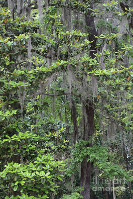 Photograph - Southern Trees With Spanish Moss by Carol Groenen