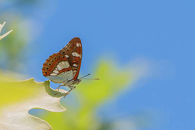 Photograph - Southern White Admiral - Limenitis Reducta by Jivko Nakev