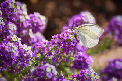 Photograph - Southern White Butterfly On Purple Flowers  by Saija Lehtonen