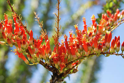 Photograph - Southwest Ocotillo Bloom by James BO Insogna