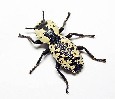 Southwestern Ironclad Beetle Art Print by Bill Morgenstern